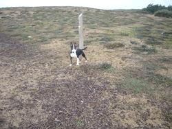 Guapa, chien Bull Terrier