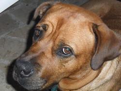 Guapa, chien Dogue de Bordeaux