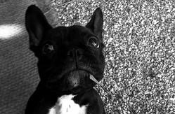 Guapa, chien Bouledogue français