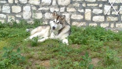 Guapa Chelsea, chien Malamute de l'Alaska