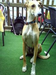 Guapo, chien Lévrier espagnol