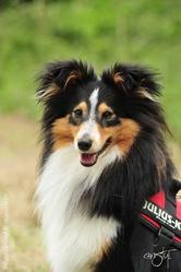 Gucci, chien Berger des Shetland