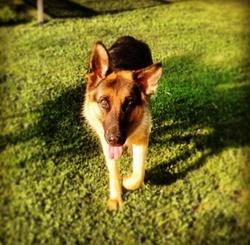 Gucci, chien Berger allemand