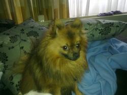 Gucci, chien Spitz allemand