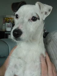 Gucci, chien Jack Russell Terrier