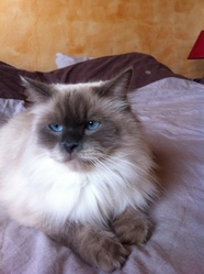 Gucci, chat Birman