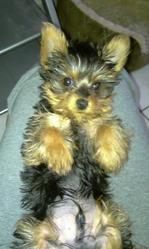Gucci, chien Yorkshire Terrier