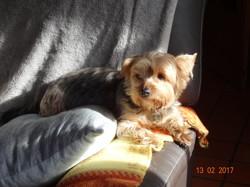Gucci, chien Dandie Dinmont Terrier