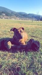Gucci, chien American Staffordshire Terrier