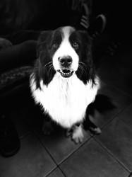 Gucci, chien Bouvier bernois