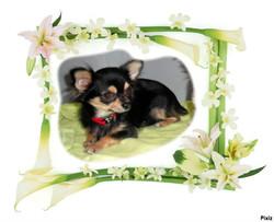 Gucci, chien Chihuahua