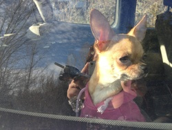 Gucci , chien Chihuahua