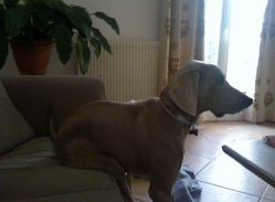 Gucci, chien Braque de Weimar