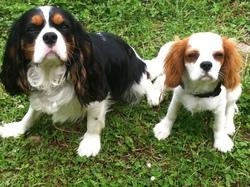 Gucci, chien Cavalier King Charles Spaniel