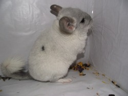 Gucci, rongeur Chinchilla