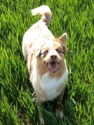 Gucci, chien Berger australien
