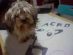 Gucci, chien Yorkshire Terrier