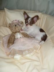 Gucci Precious Pearl, chien