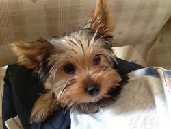 Gucci Xxi, chien Yorkshire Terrier