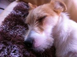 Gucci_du_moulin_de_poelay, chien Jack Russell Terrier