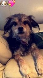 Guccie, chien