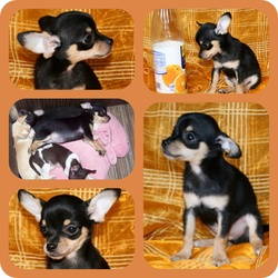 Guccy, chien Chihuahua