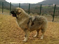Gudari Du Clos De Lune, chien Berger yougoslave