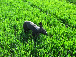 Gudule, chien Braque allemand à poil court