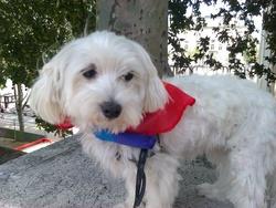 Guédoune, chien Bichon maltais