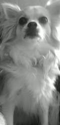 Gueisha, chien Chihuahua
