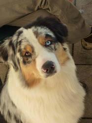 Gueiss, chien Berger australien