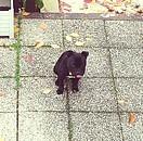 Gueko, chien Staffordshire Bull Terrier