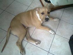 Gueko, chien American Staffordshire Terrier