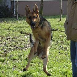 Guena, chien Berger allemand