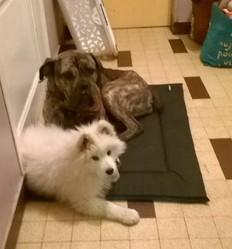 Gunny, chien Cane Corso