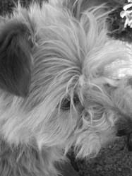 Guenille, chien