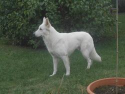 Guerlain, chien Berger blanc suisse