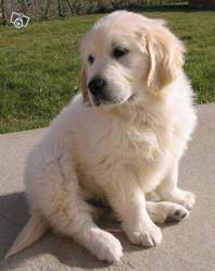 Guess, chien Golden Retriever