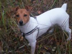 Guess, chien Jack Russell Terrier