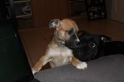 Guess, chien Dogue de Majorque