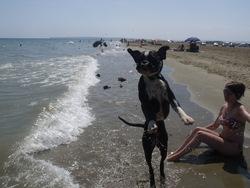 Geisha, chien Boxer