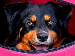 Guess, chien Berger australien