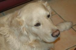 Guess, chien Golden Retriever