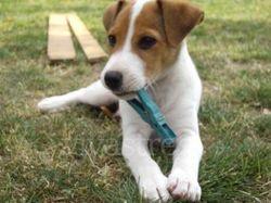 Guess, chien Jagdterrier