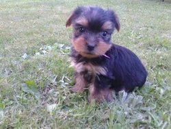 Guess, chien Yorkshire Terrier
