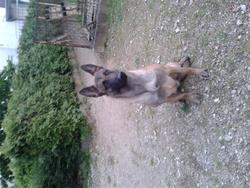 Guess, chien Berger belge