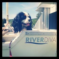 Guess, chien Cavalier King Charles Spaniel