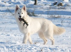 Guess Gliss White , chien Berger blanc suisse