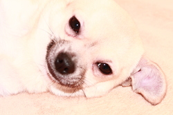 Guessy, chien Chihuahua