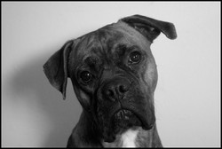 Guessy, chien Boxer